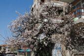 Bahar dalları çiçek açtı – Kocatepe Gazetesi