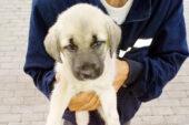 Polisin yaralı bulduğu yavru köpek tedavi edilip barınağa konuldu