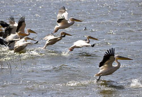 Frigya'ya gelen pelikanlar hoş görüntüler oluşturdu