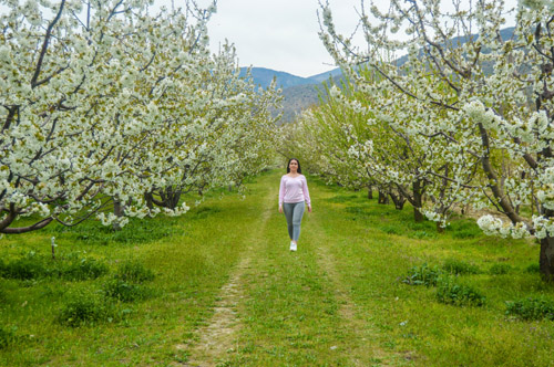 Çiçeklenen kiraz ağaçları güzelliğiyle göz kamaştırıyor