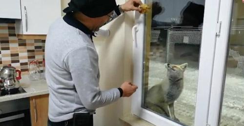 Şantiye işçileri  3 yıldır tilki ailesini elleriyle besliyor