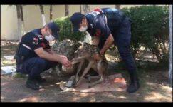 Yaralı yavru geyiği jandarma kurtardı